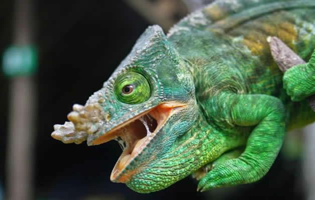 debs chameleon